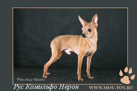 Фото русский той (той терьер) Рус Комильфо Нерон - г.ш. / Foto russian toy dog (russkiy toy dog)
