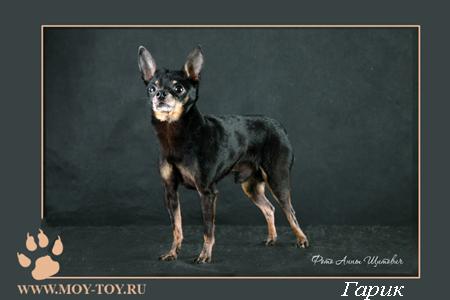 Фото русский той (той терьер) Гарик - г.ш. / Foto russian toy dog (russkiy toy dog)