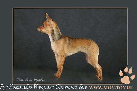 Фото русский той (той терьер) Рус Комильфо Интрига Орнетта Бру - г.ш. / Foto russian toy dog (russkiy toy dog)