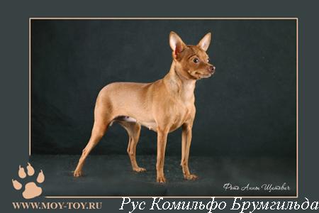 Фото русский той (той терьер) Рус Комильфо Брумгильда - г.ш. / Foto russian toy dog (russkiy toy dog)
