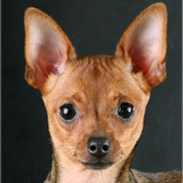 Photo Petit chien russe (Russkiy Toy) Rus Komillfo Intriga Ornetta Bru