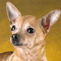 Photo Petit chien russe (Russkiy Toy) Ornetta s lipetskih Ozer