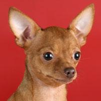 Photo Petit chien russe (Russkiy Toy) Rus Komillfo Rus Komillfo Brumgilda