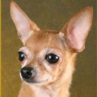Photo Petit chien russe (Russkiy Toy) Rus Komillfo Rus Komillfo Neron
