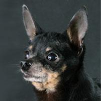 Photo petit chien russe (Russkiy Toy) Rus Komillfo Garik