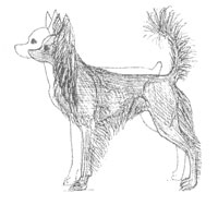 Petit chien russe (Russkiy toy)