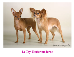 Le Toy-Terrier (Petit chien russe, Russkiy Toy) moderne