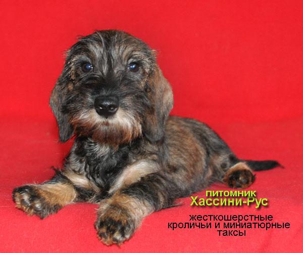 Фото щенка кроличьей жесткошерстной таксы