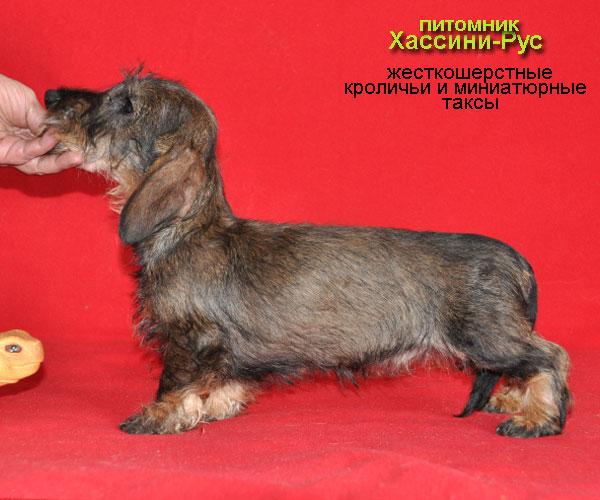 Фото щенка карликовой (миниатюрной) жесткошерстной таксы