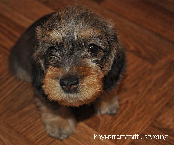Миниатюрная жесткошерстная такса щенок, фото