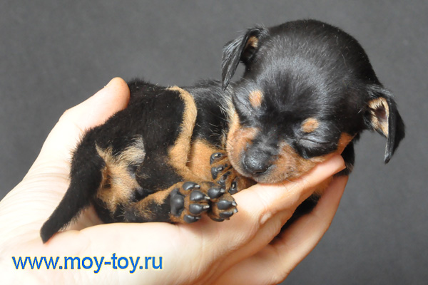 Фото щенка мини той терьера