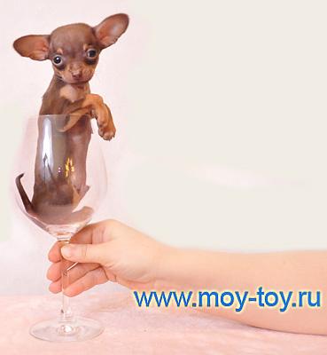 Мини той терьер / www.moy-toy.ru , фото