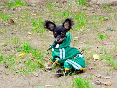 Длинношерстный щенок той терьера черно-подпалого окраса, фото