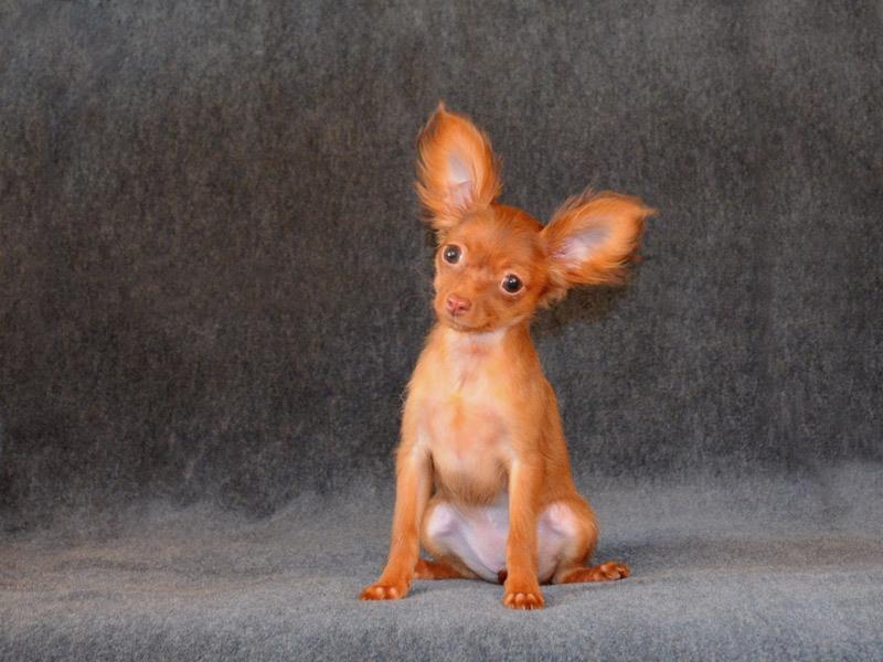 Щенок длинношерстного той терьера МИНИ рыже-коричневого окраса, фото