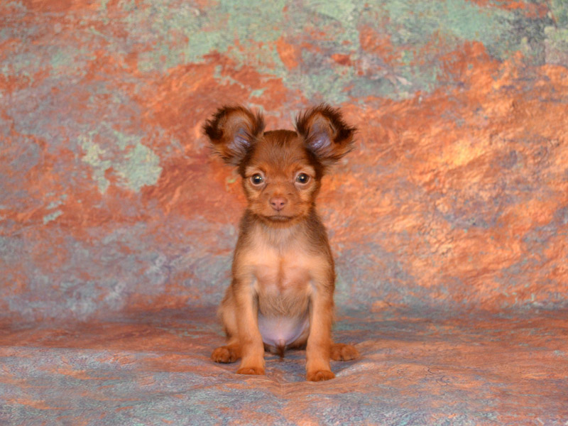Щенок длинношерстного той терьера рыже-коричневого окраса, фото