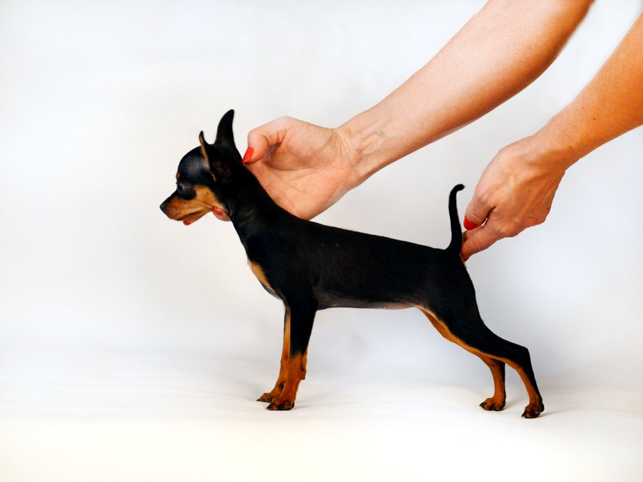 Купить щенка Мини той терьера, фото